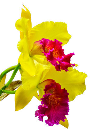 cattleya: Beautiful yellow Orchid Cattleya isolated on white background Stock Photo