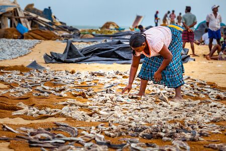 Negpmbo, Sri Lanka - Jul 15, 2011 : Woman laying fishes to dry un der sunlight on the sandy beach at Negombo in Sri Lanka Editorial
