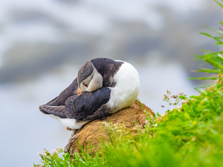 Closeup of Atlantic Puffin resting on a rock at Latrabjarg Cliff in Iceland Stock Photo