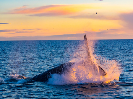 Humpback Whale breaching out of water in the morning light in Iceland Stock Photo