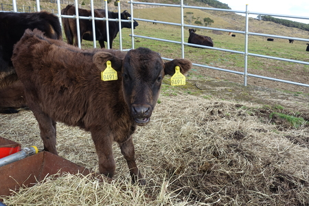 pasture fence: a calf in a pasture fence