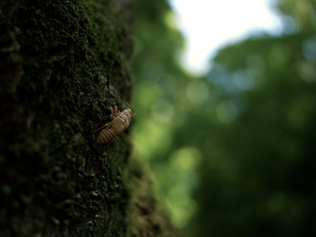Cicada s shell 版權商用圖片