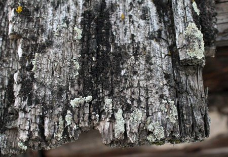 Lichen moss growing on the bark of a tree. Texture of tree bark with dry moss. Close up of brown gray and green tree surface with day light for background texture. moss on a tree Stock Photo