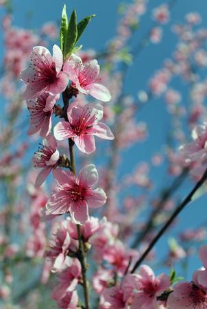 roze kersenbloesembloem in de lente over blauwe hemel