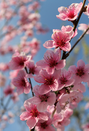 pink cherry blossom flower in spring time over blue sky