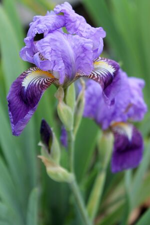 Flower iris, lilac petals and green leaves. The iris flower. Beautiful purple flower in bloom on a crisp spring morning