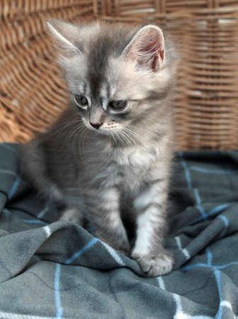 Touching little grey kitten, british cat feline young 版權商用圖片