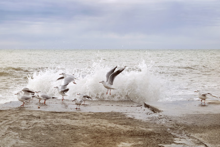 A group of seagulls taking off from the breakwater scared by the sea wave after sunset on the sea shore