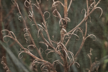 Curly dry branches of Yucca after fall winter flowers amid evergreen leaves of Yucca with superimposed texture