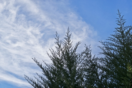 Uncut cypresses against a blue sky and feathery clouds on a Sunny day Фото со стока