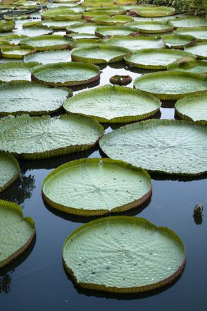 corbel: lotus, lotos, corbel, water lily