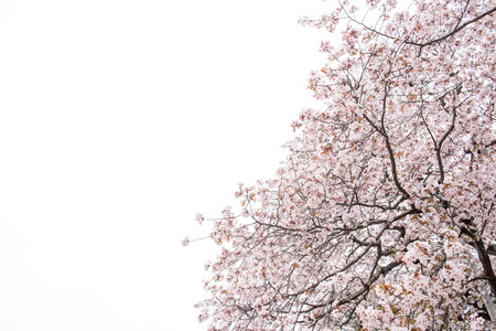 rightwing: Cherry blossoms in full bloom