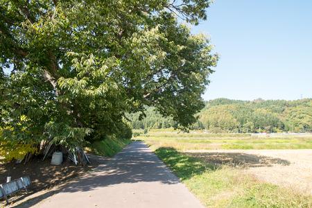 chestnut tree: A chestnut tree road