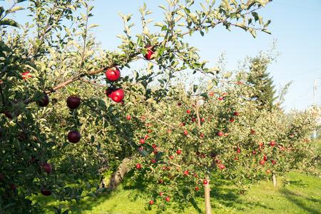 apple orchard: Apple Orchard