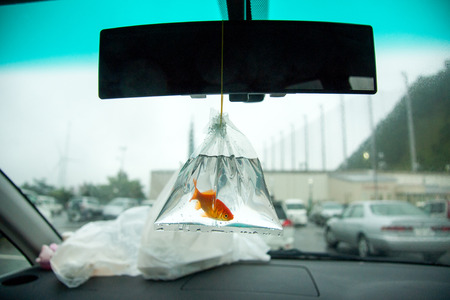 Goldfish hanging on a car mirror Reklamní fotografie