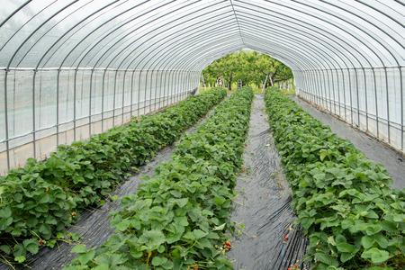イチゴ畑 写真素材