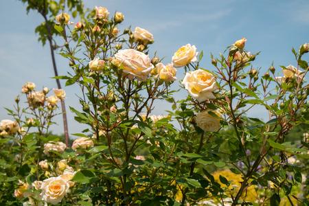 beautiful rose: Rose