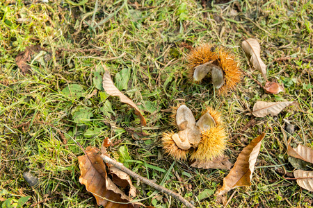 fell: Fell to the ground chestnut shell