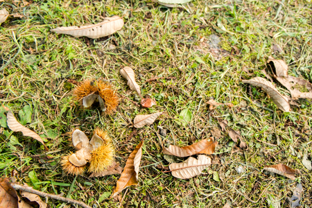Fell to the ground chestnut shell