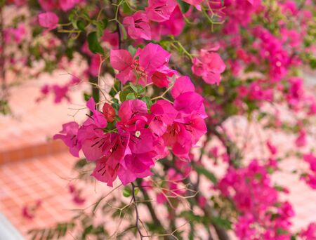 bougainvillea flowers: Beautiful bright pink bougainvillea flowers