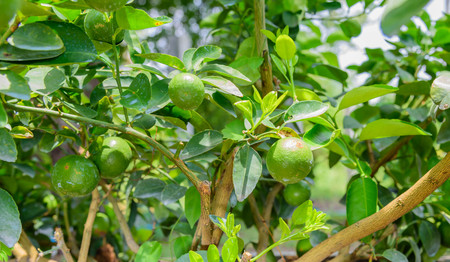 fruiting: Lemon trees in pots that are fruiting.