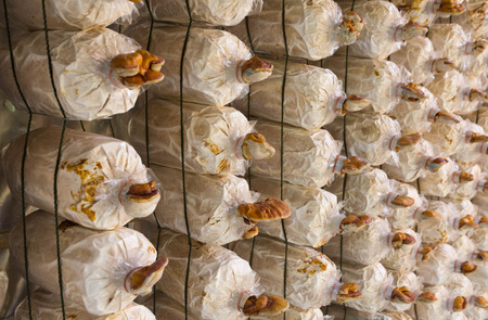 villagers: Mushroom growing villagers for selling and eating in the family. Stock Photo