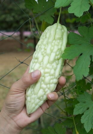 planted: Gardeners are kept at the hands of Japanese Gourd planted in the garden. Stock Photo