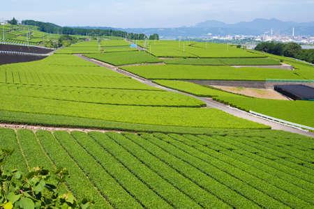 Tea plantation Standard-Bild