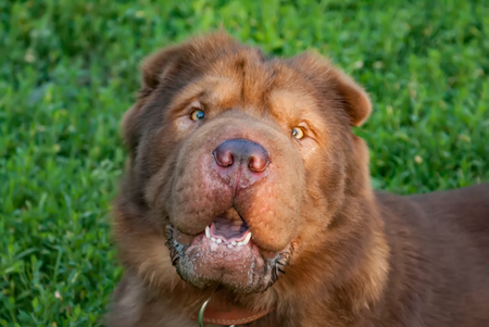 Brown shaggy dog in a dog collar on a background of green grass Stock Photo