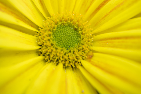 Big beautiful flower with yellow petals closeup
