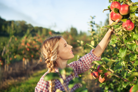 Beautiful young woman picking ripe organic apples  in orchard