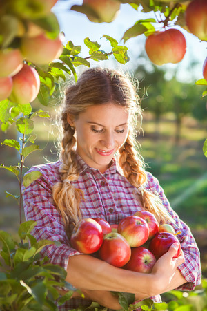Young woman picking apples from apple tree on a lovely sunny summer day  in orchard