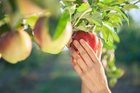Frau Hand mit einem roten reifen Apfel pflücken