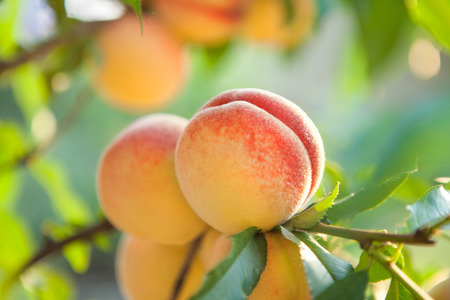 Ripe sweet peach fruits growing on a peach tree branch in orchard