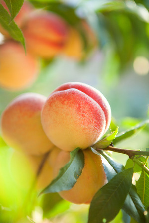 a branch of ripe peaches ready to be picked