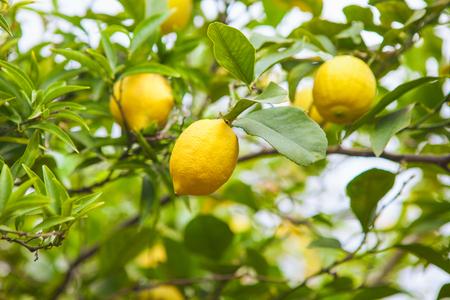 Lemon. Ripe Lemons hanging on tree. Growing Lemon Stock Photo
