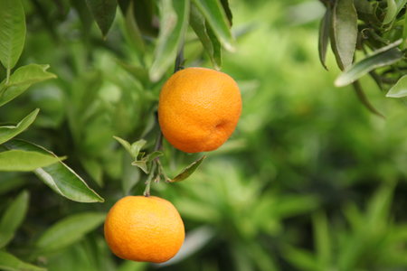 Ripe and fresh oranges hanging on branch