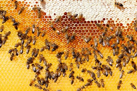 Bee honeycombs with honey and bees. Apiculture