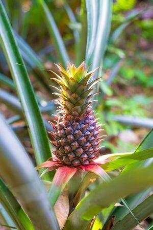 Ananas bracteatus (red pineapple, pink pineapple) is a species of the pineapple
