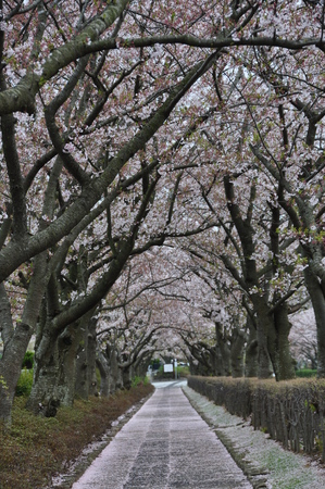 scenary: A Path of Cherry Blossoms