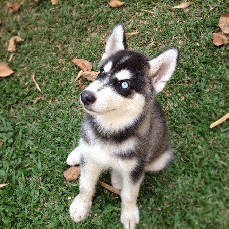 Siberian husky puppy sits on the green grass