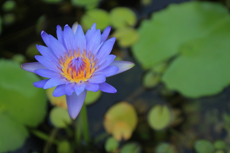 The purple lotus in the basin and lotus leaves are the background.