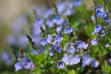 arvensis: Small blue flower Myosotis arvensis