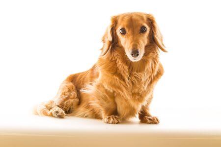 miniature breed: Dachshund Foto de archivo