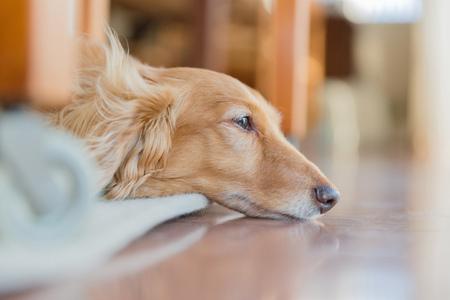 dachshund: Dachshund Stock Photo