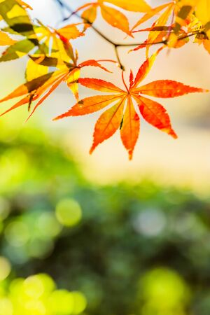 fall landscape: Red leaves of Japanese maple tree