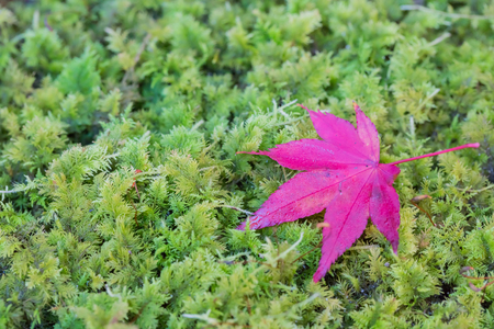 fallen tree: Red leaves of Japanese maple tree with green moss