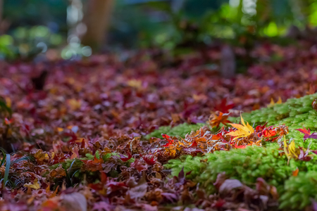 japanese maple tree: Red leaves of Japanese maple tree with green moss
