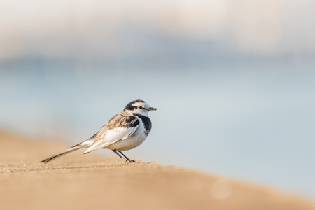 white wagtail: Wagtail