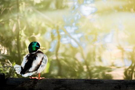 pato real: Male mallard duck
